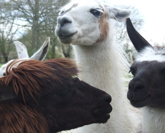 Stephanie Dagg is a writer and book reviewer who lives in England with her family and her llamas. I'm all for a book reviewer who gives me the opportunity to post a picture of llamas!