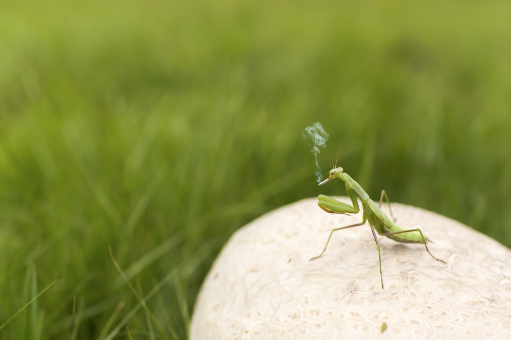 Smoking praying mantis