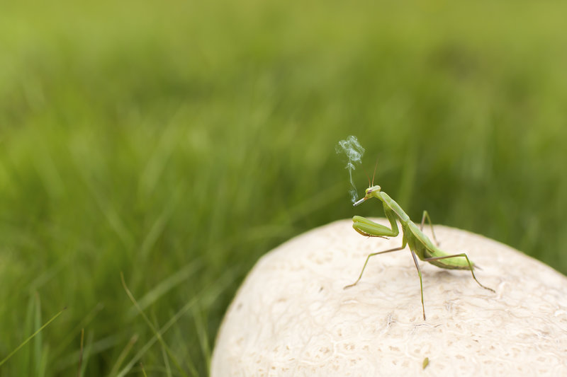 Smoking_praying_mantis_small